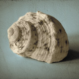 Seashell Study I Print by Heather Jacks
