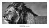 Le regard du lion Affiches par Xavier Ortega