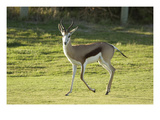 Antelope at The Atlantic Beach Golf Club Regular Photographic Print by J.D. Cuban