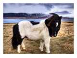 Icelandic Sheepdog Premium Photographic Print by Trey Ratcliff