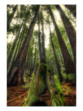 The Giants in the Muir Woods Premium Photographic Print by Trey Ratcliff