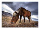 An Icelandic Horse in the Wild Premium Photographic Print by Trey Ratcliff