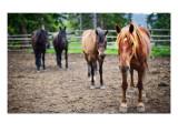 Four Horses Premium Photographic Print by Trey Ratcliff