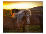 The Golden Horse in Iceland Premium Photographic Print by Trey Ratcliff