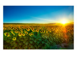 Sunflowers at Sunset Premium Photographic Print by Trey Ratcliff