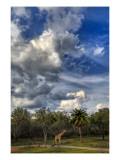 A Giraffe on the Savannah Premium Photographic Print by Trey Ratcliff