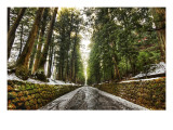 Old Forest After the Snowmelt Premium Photographic Print by Trey Ratcliff
