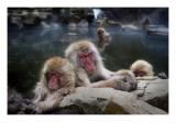 Sleeping Snow Monkeys Premium Photographic Print by Trey Ratcliff