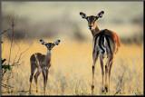Mère et enfant Impala Affiche montée sur bois par Michel & Christine Denis-Huot