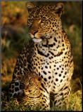 Léopards mère-enfant, Panthera pardus, Masai-Mara Kenya Affiche montée sur bois par Michel & Christine Denis-Huot