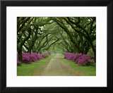 A Beautiful Pathway Lined with Trees and Purple Azaleas Framed Photographic Print by Sam Abell