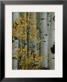 Autumn Foliage and Tree Trunks of Quaking Aspen Trees in the Crested Butte Area of Colorado Framed Photographic Print by Marc Moritsch