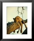 Pantera wylegująca się na drzewie Oprawiona reprodukcja zdjęcia autor Beverly Joubert