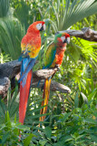 Parrots - Fuerteventura Photo