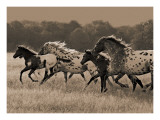 Appaloosa Run Art by Robert Dawson