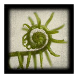 Spiral Fern Posters by June Hunter