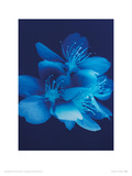 Blue Blossom Giclee Print by Lisa Barber
