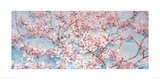 Full Blossom Giclee Print by Nicola Acaster