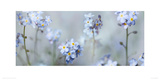 Forget-Me-Nots Giclee Print by Ian Winstanley