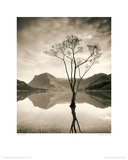 Silver Birch - Buttermere Giclee Print by Mike Shepherd
