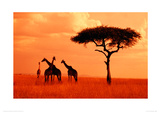 Giraffes At Sunset Giclee Print by Jeff Hunter
