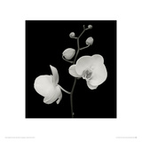 Two Orchids and Five Buds Giclee Print by Mary Bushweller