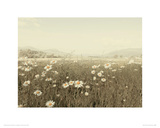 Field of Daisies Giclee Print by Ian Winstanley