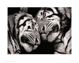 Sleeping Tigers Giclee Print by Marina Cano