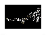 Branch of White Blossom Giclee Print by Ian Winstanley