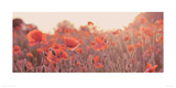 Field of Poppies Giclee Print by Ian Winstanley