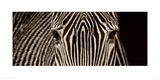 Zebra Grevy Giclee Print by Marina Cano