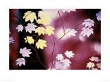 Vine Maple Tree Giclee Print by Paul Edmondson