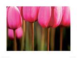 Tulipa Gesneriana Giclee Print by Anon