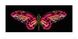 Hybrid Birdwing Giclee Print by Harold Feinstein