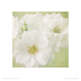 White Roses on Linen Giclee Print by Shana Rae