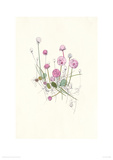Sea Pinks Giclee Print by Hannah Pontin