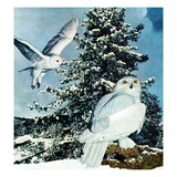 """Snowy Owls"", September 14, 1957 Giclee Print by D. Bleitz"