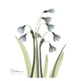 Snowdrop Prints by Albert Koetsier