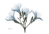 Oleander in Blue Poster by Albert Koetsier