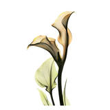 Calla Lilly Print by Albert Koetsier