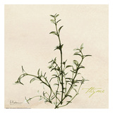 Thyme on Beige Art by Albert Koetsier
