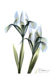 Blue Iris Pair Prints by Albert Koetsier