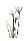 Wendy's White Rain Lily Kunstdruck von Albert Koetsier
