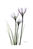 Wendy's White Rain Lily Prints by Albert Koetsier