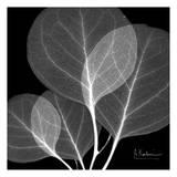 Eucalyptus Close Up Black and White Affiches par Albert Koetsier