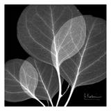 Eucalyptus Close Up Black and White Lminas por Albert Koetsier