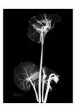 Cyclamen on Black Posters by Albert Koetsier