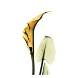 Calla Lilly in Gold Prints by Albert Koetsier
