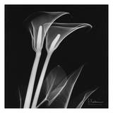 Calla Lilly on Black Posters by Albert Koetsier