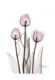 Early Tulips in Lavender Prints by Albert Koetsier